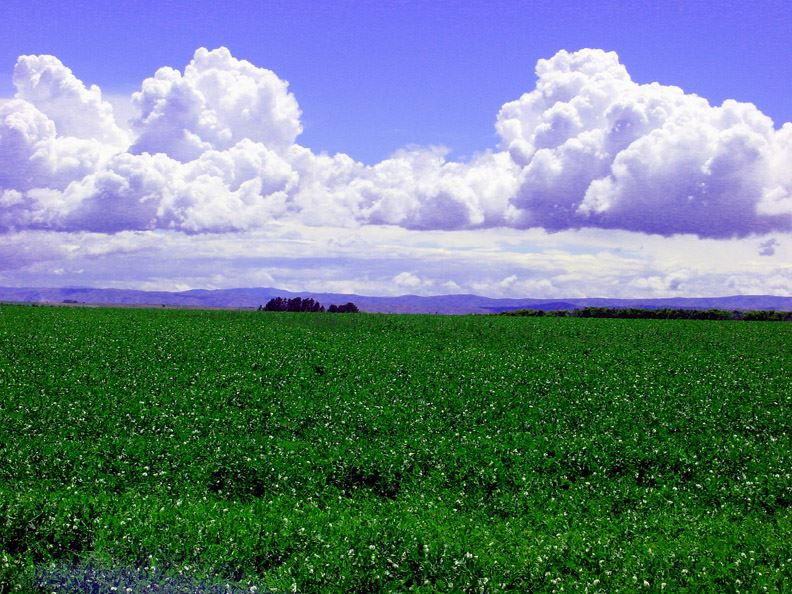 Green fields with fluffy white clouds in the sky
